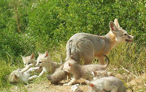 Kit fox investigation still ongoing by DFW