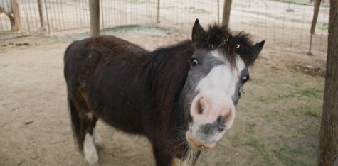 Tanglewood Farms and their mini horses