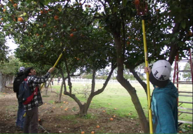 'Pick your own oranges' helps fund the Ag Dept.
