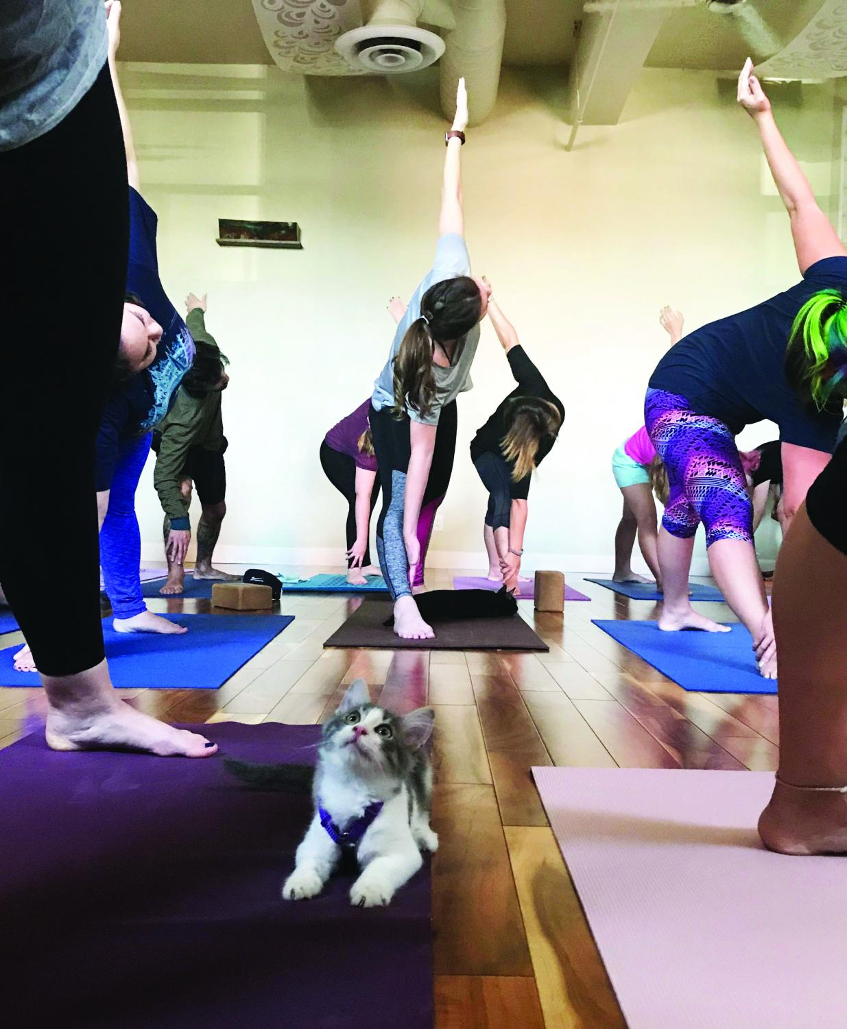 One of the kittens up for adoption looks at a yoga student.