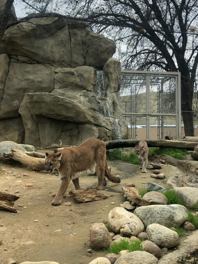 CALM is home to many animals, including these mountain lions.